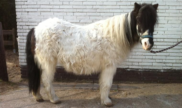 Horse at early stage of treatment for PPID